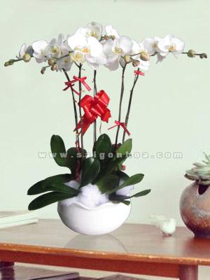 hoa lan ho diep trang chau 5 canh