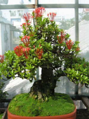 cay trang thai do bonsai