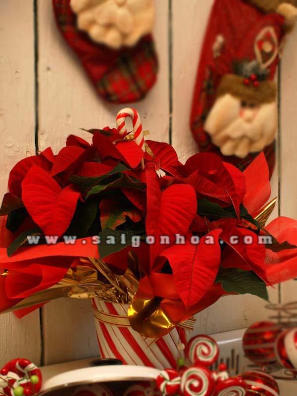 hoa trang nguyen mua giang sinh