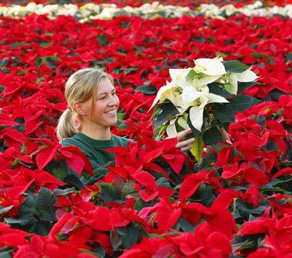 hoa trang nguyen-poinsettia