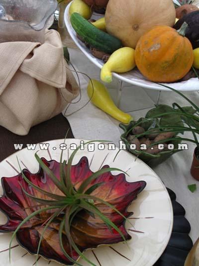Tillandsia on table