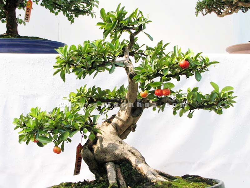 cay so ri bonsai