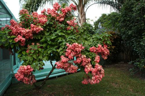 cay buom co hoa mau hong