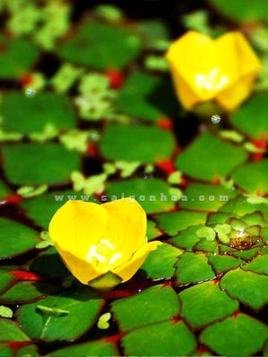 hoa au thai