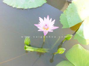 hoa sung thuy sinh