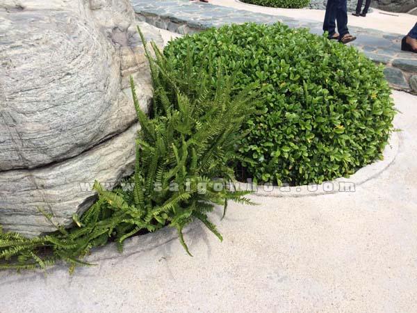 Cung cấp sỉ và lẻ cây dương xỉ