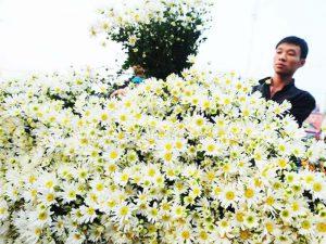cuc hoa mi ngay tet