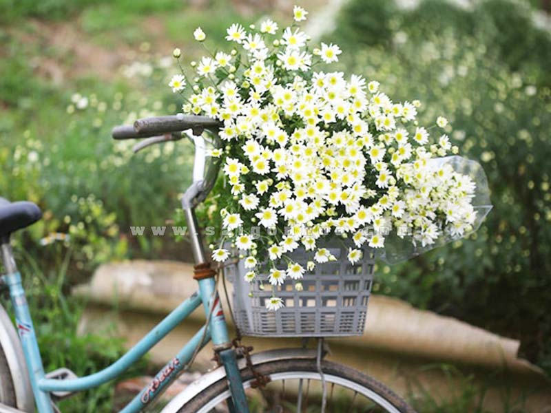 cuc hoa mi trang tri