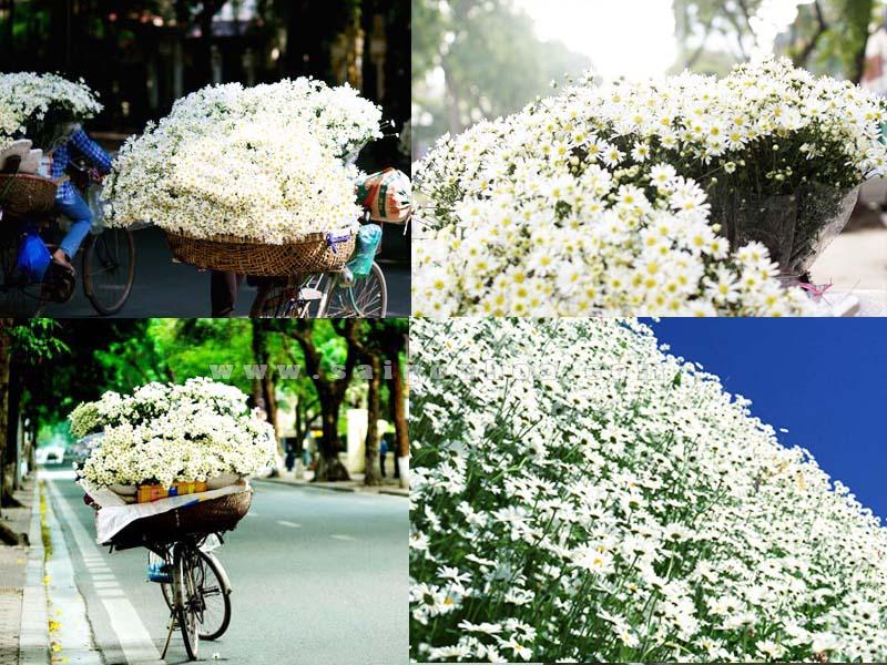 hoa cuc hoa mi trang