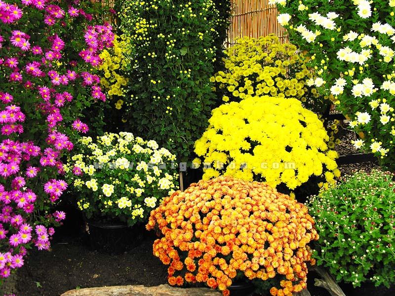 hoa cuc mam xoi trong san vuon