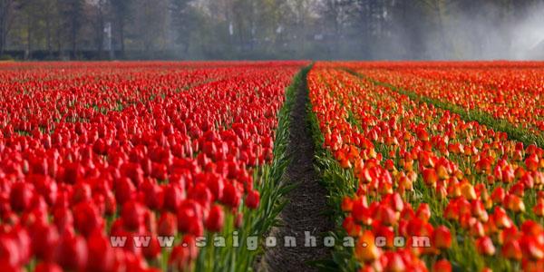 canh dong hoa tulip mau do