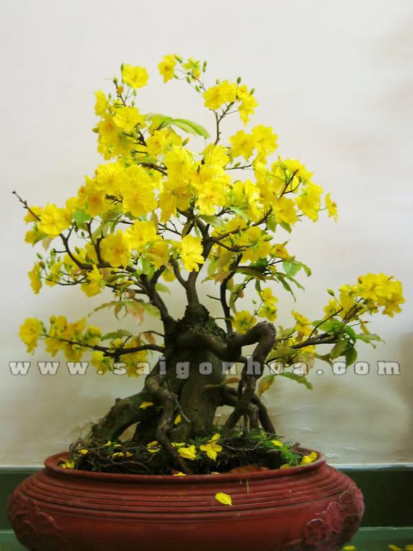 cay hoa mai bonsai