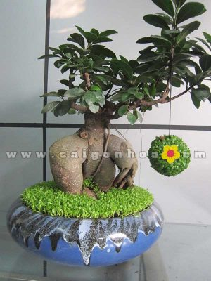 cay may man bonsai chuc mung nam moi