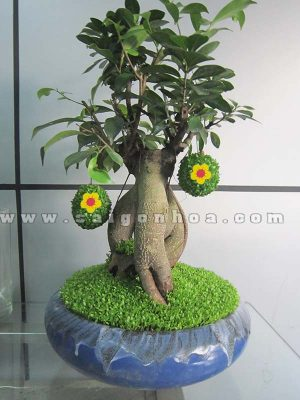 cay may man bonsai chuc mung nam moi 7