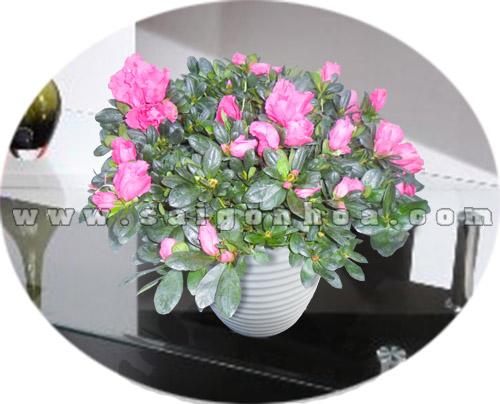 chau hoa do quyen de ban 2