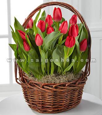 gio hoa tulip do
