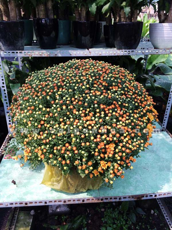 hoa cuc mam xoi 15