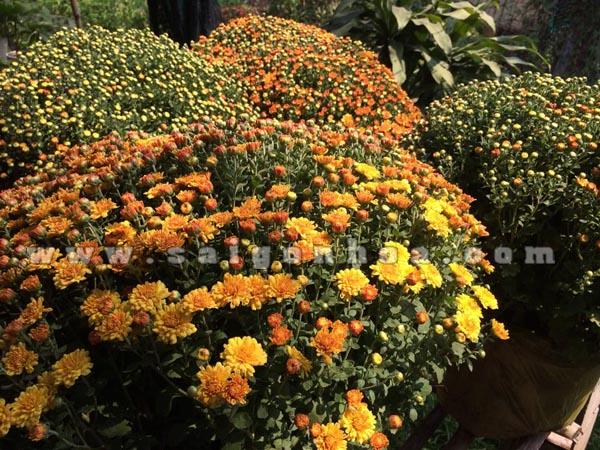 hoa cuc mam xoi 9