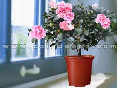hoa do quyen chau nhua 2