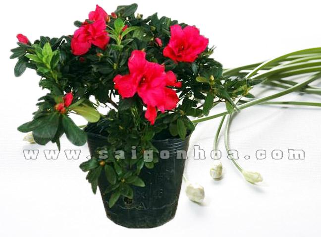 hoa do quyen do 5
