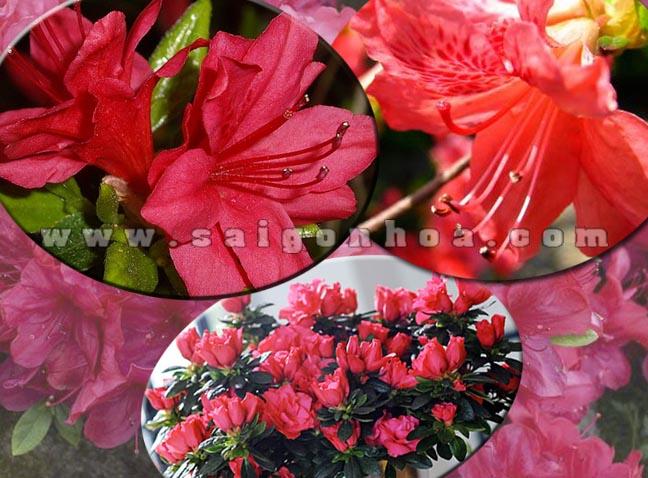 hoa do quyen do 6