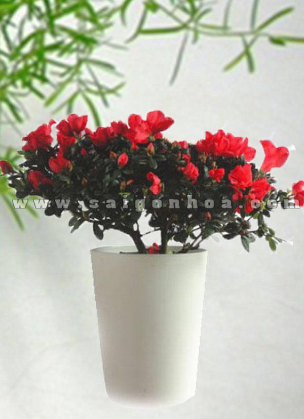 hoa do quyen do 7