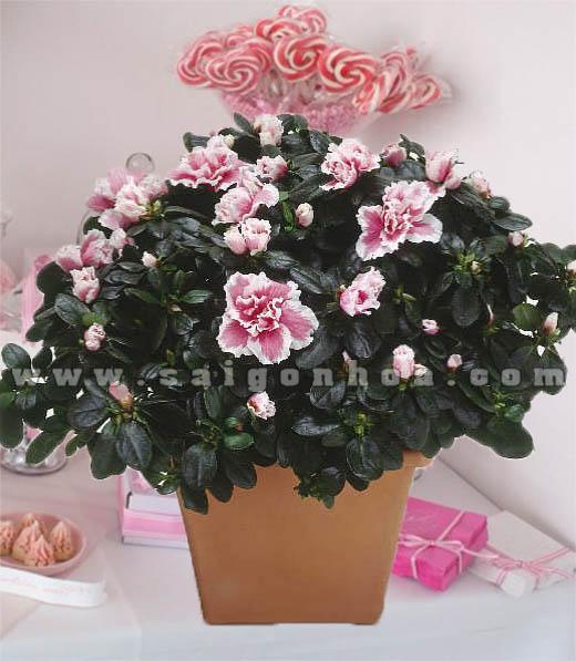 hoa do quyen hong 3