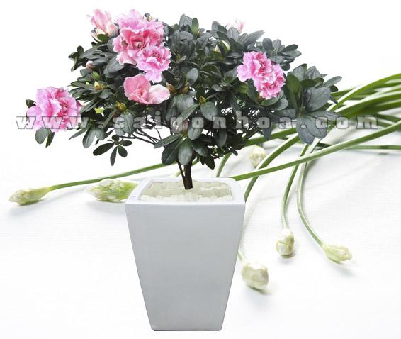 hoa do quyen hong 8