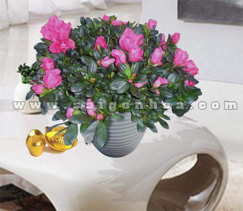 hoa do quyen ngay tet 2
