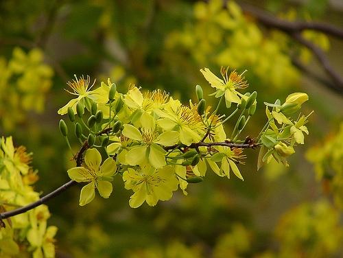 hoa mai huong