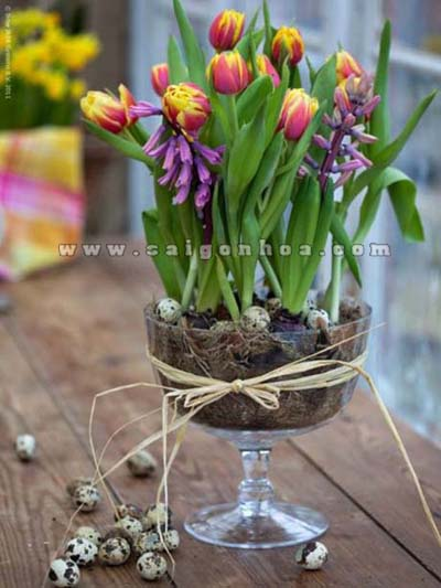 hoa tulip chau ly