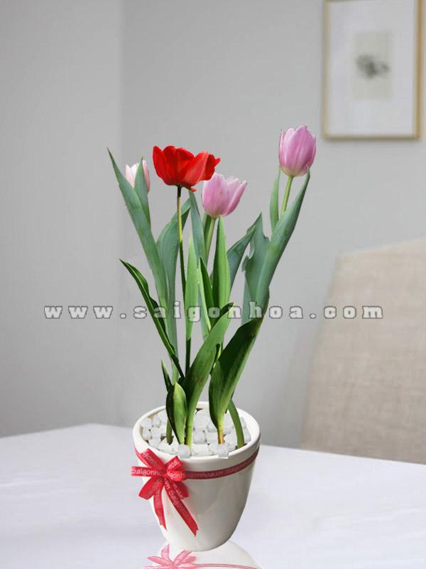 hoa tulip de ban