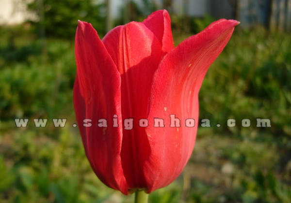 hoa tulip do 11