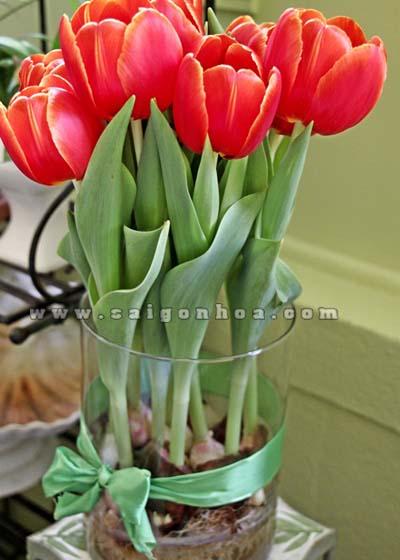 hoa tulip do 20