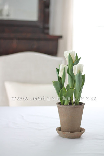 hoa tulip trong chau su de ban