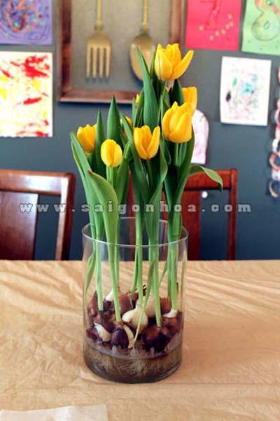 hoa tulip vang 11