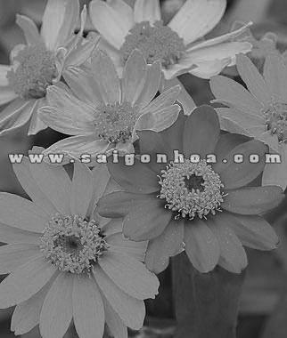 hoa cuc nham don
