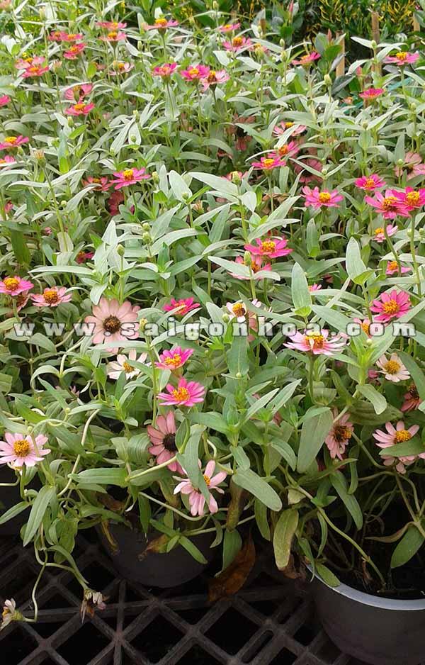 hoa cuc nham hoa duyen cuc