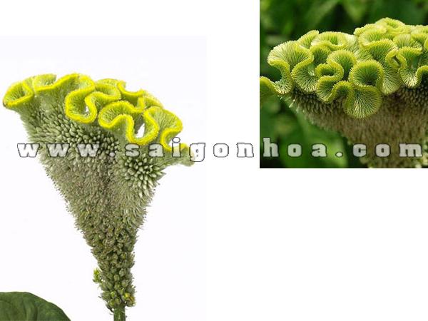 hoa mao ga mau xanh