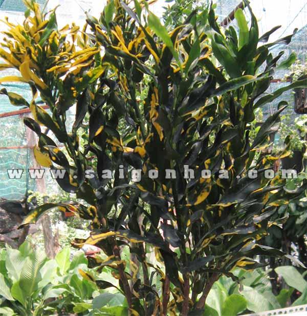 cay ruot ga 1 Codiaeum variegatum 'Banana'