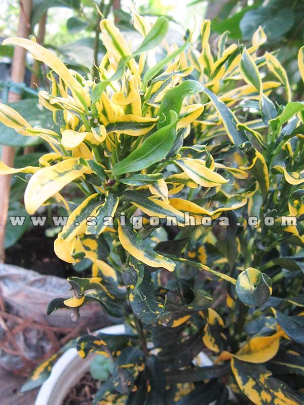 la cay ruot ga Codiaeum variegatum 'Banana'