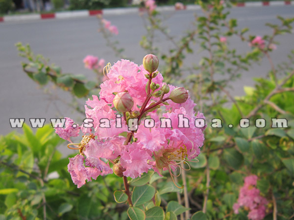 chum hoa tuong vi