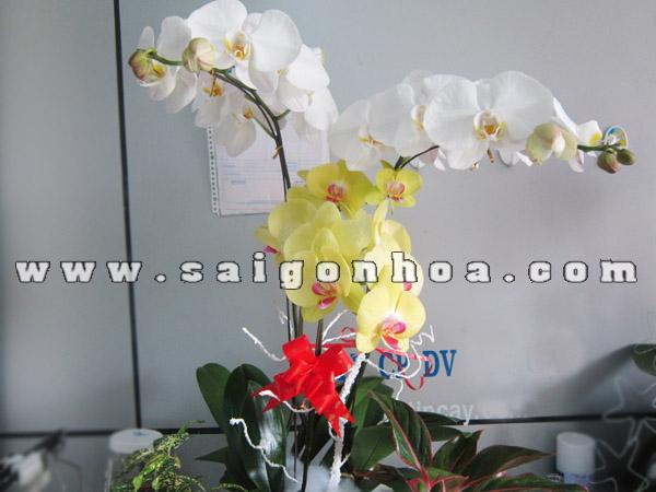 3 canh hoa lan ho diep trang vang trong tieu canh may man