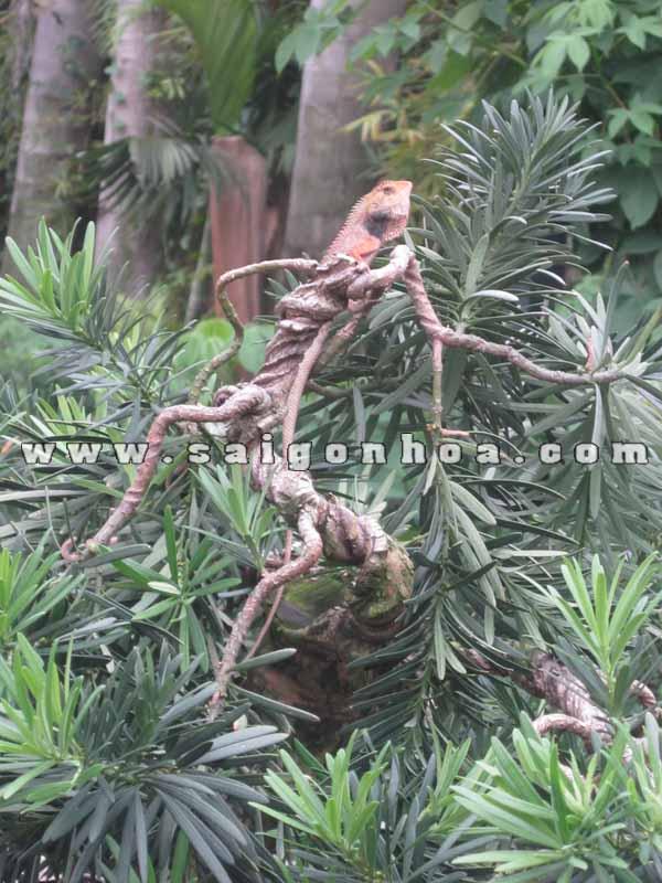 canh nhanh cay van nien tung bonsai cao 1.6 m