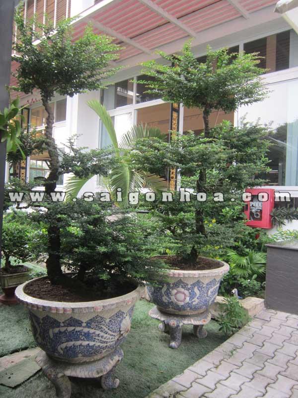 cap cay can thang bonsai