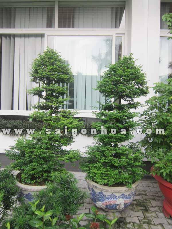 cap cay kim quyt bonsai cao 1.4 m
