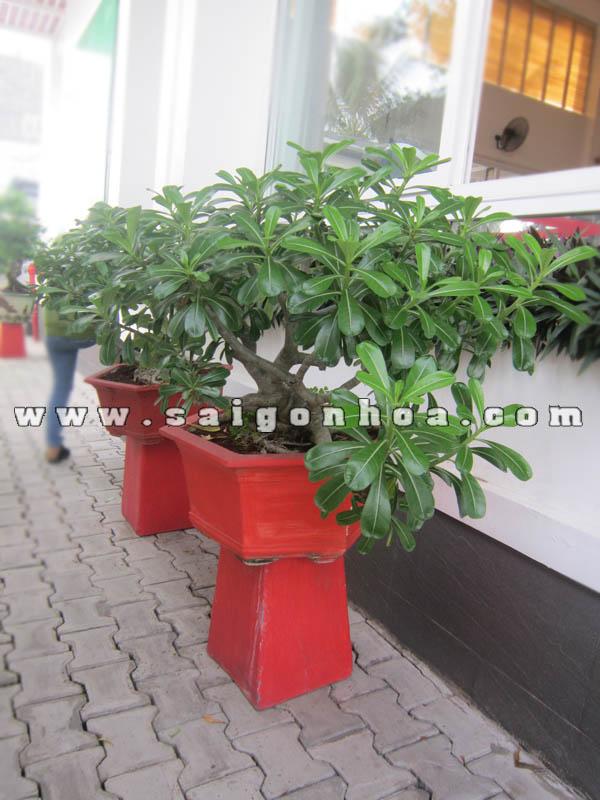 cap cay su thai bonsai