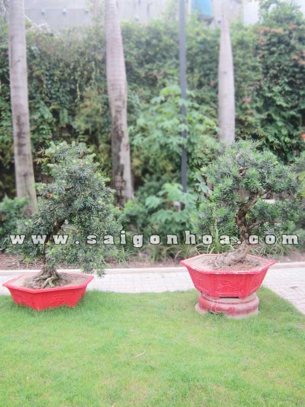 cap cay van nien tung bonsai cao 1.1 - 1.2 m