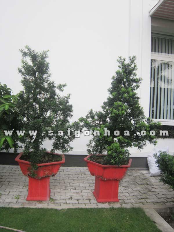 cap cay van nien tung bonsai cao 1.3 - 1.4 m trang tri
