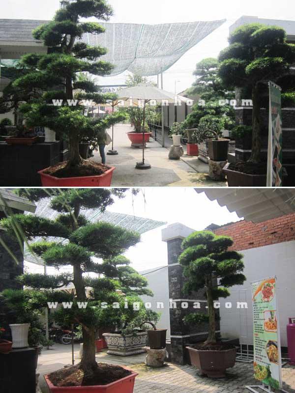 cap cay van nien tung bonsai cao 2.8 - 3 m